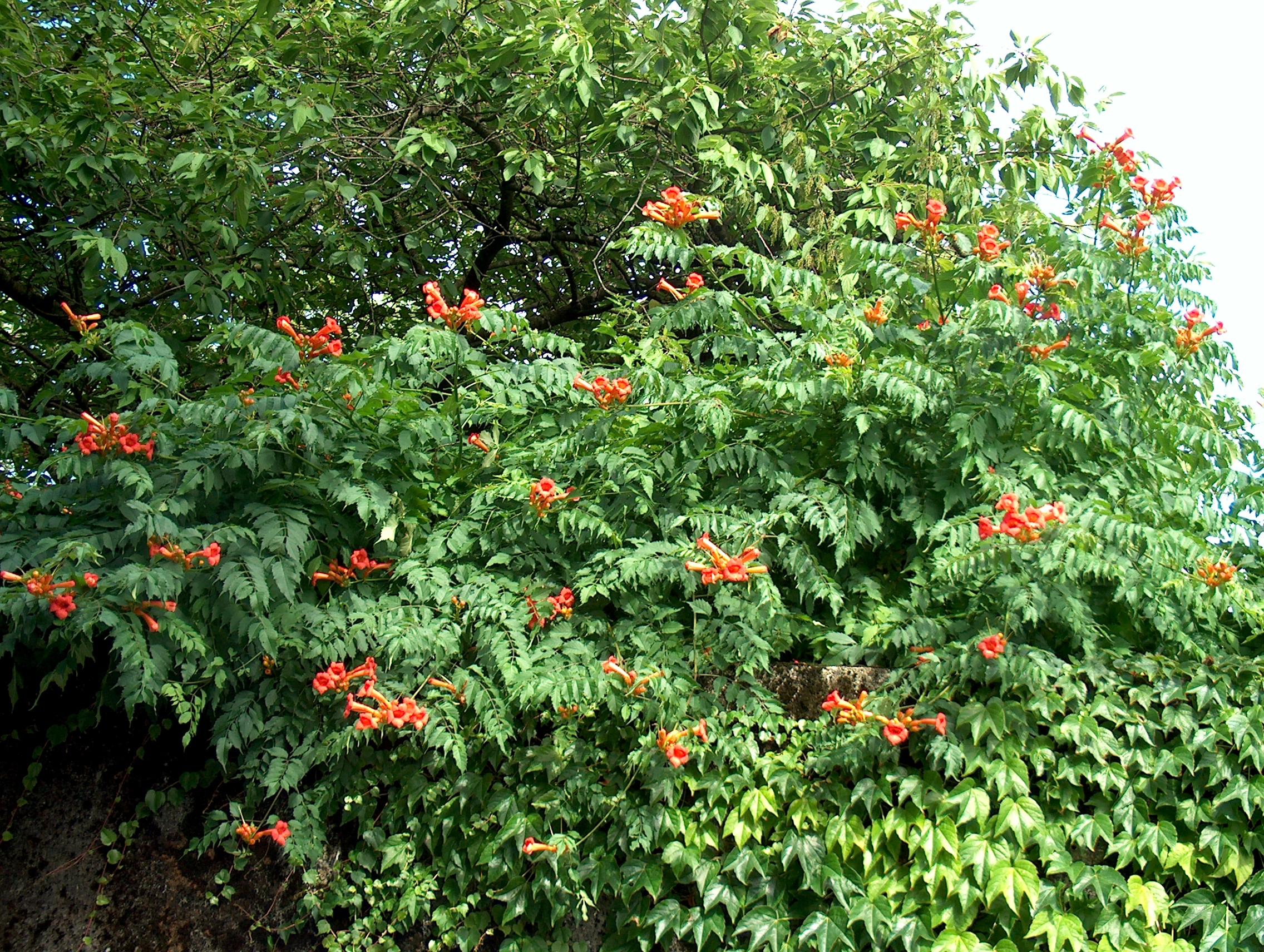 декоративные лианы для сада кампсис укореняющийся
