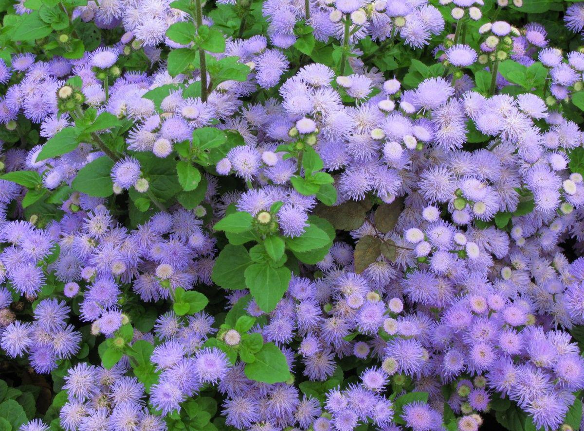 монохромный цветник синий Агератум
