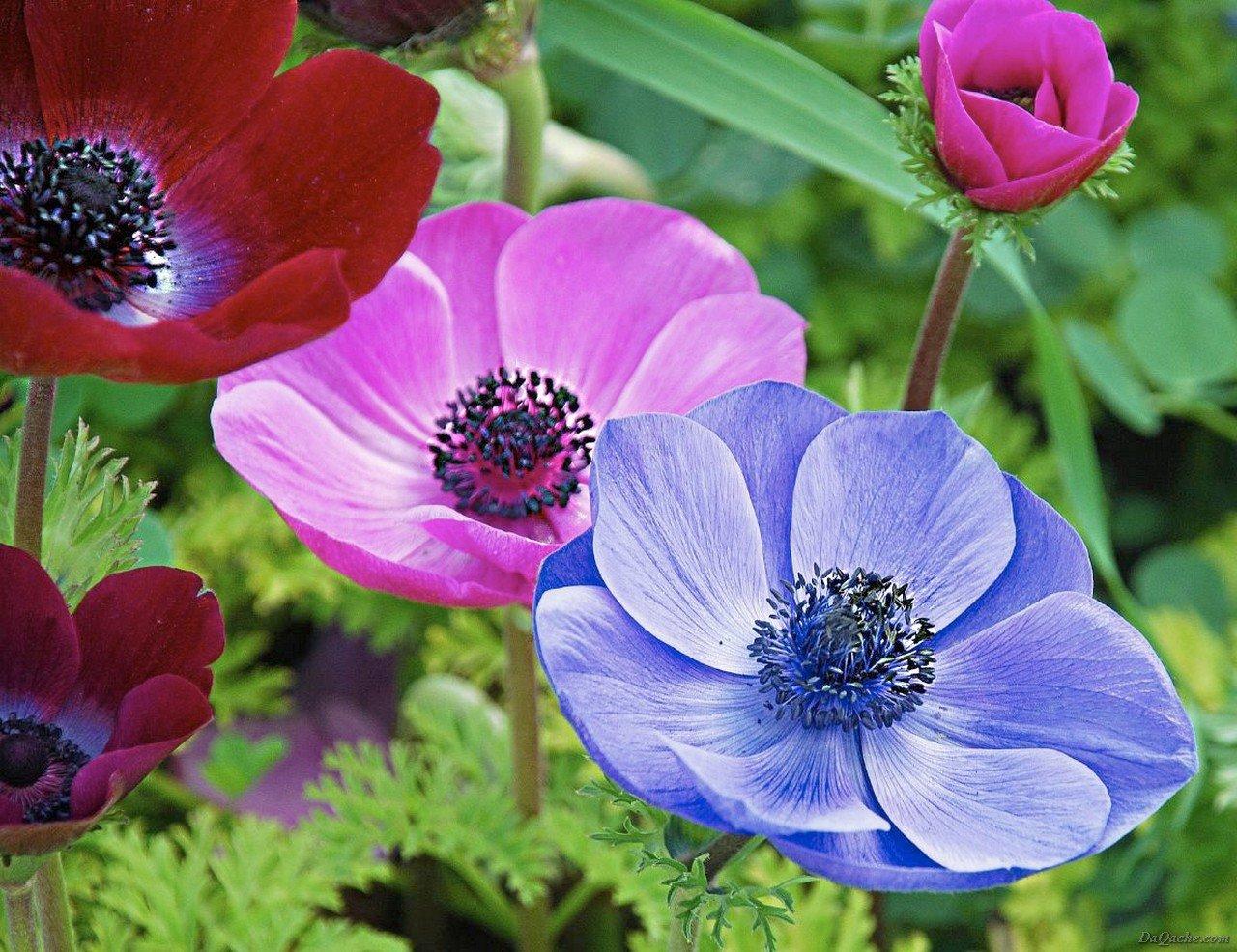 красивые сибирские цветы анемона ветреница