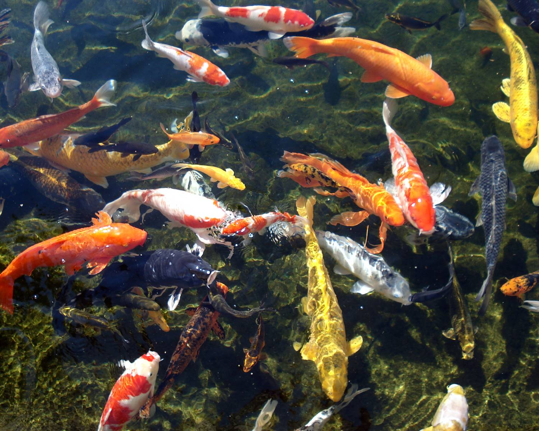 декоративные рыбки для садового пруда карпы кои