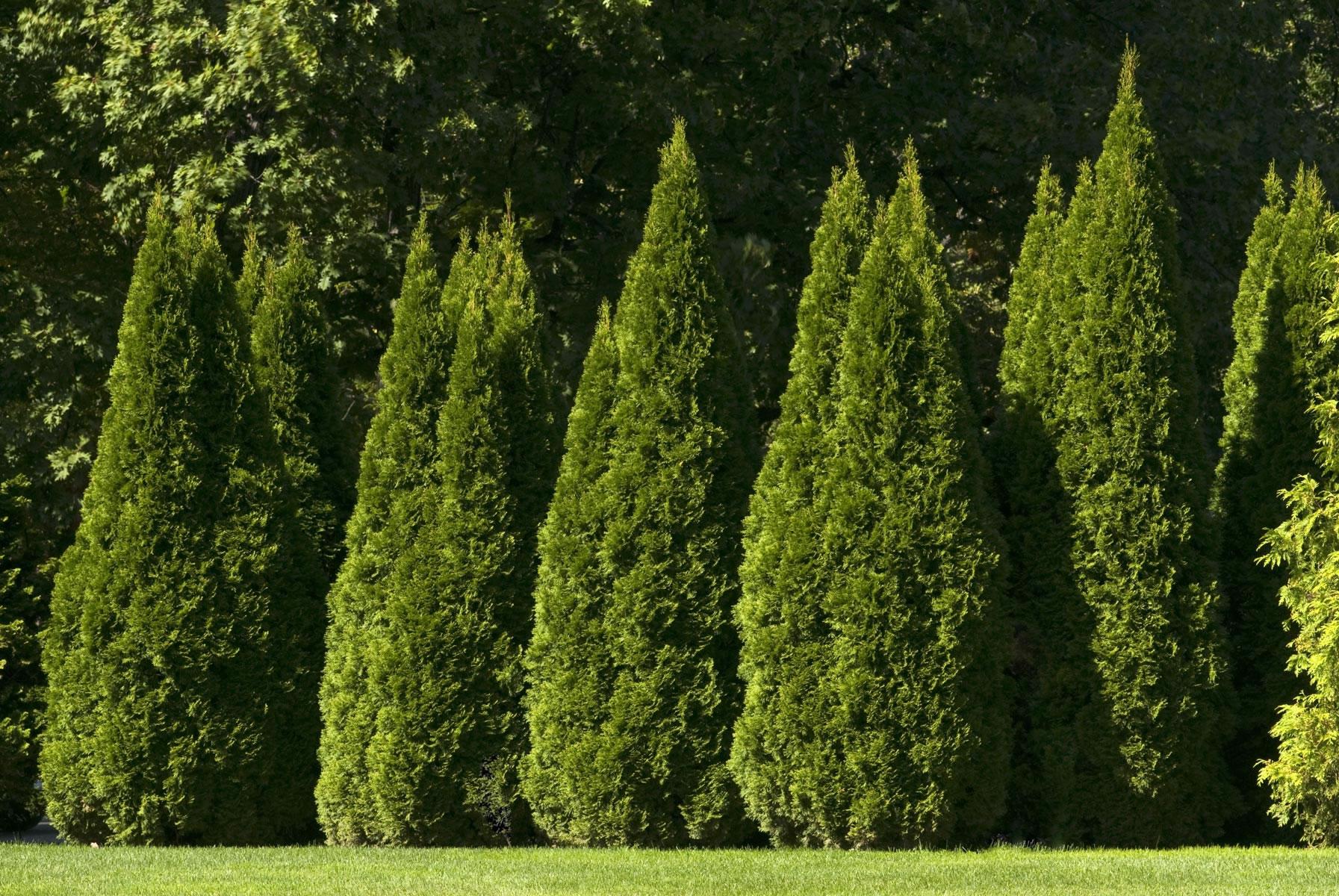 декоративные кустарники для сада конусовидная крона