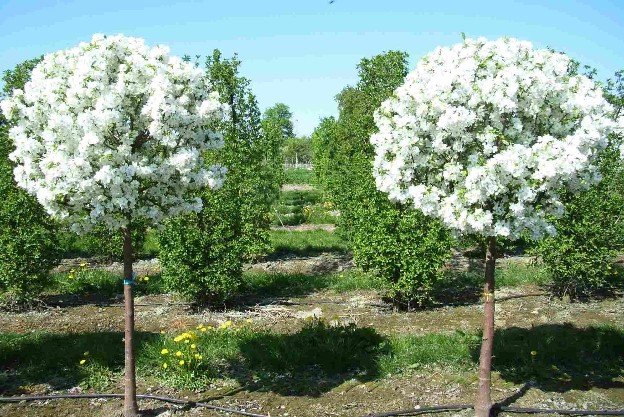 штамбовые растения своими руками выращивание растений на штамбе