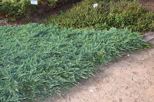 неприхотливые хвойники для украшения сада можжевельник горизонтальный wilton