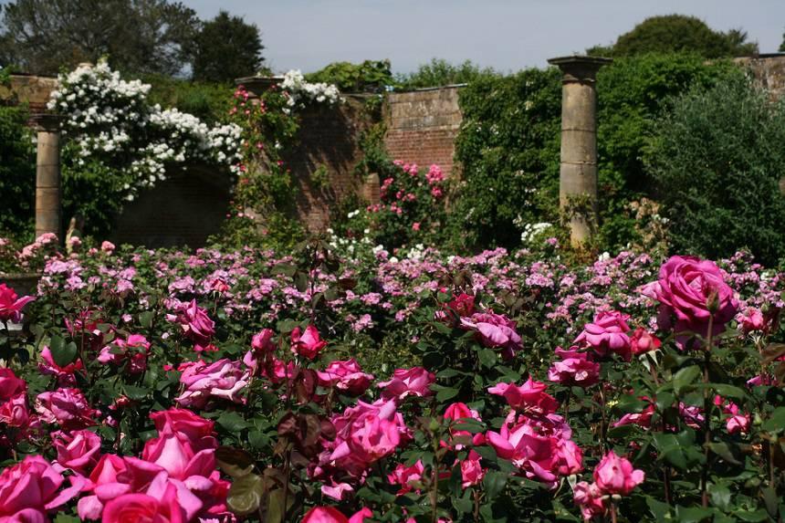 Замок Хивер сад роз красивый сад Англия вертикальное озеленение плетистые розы статуя