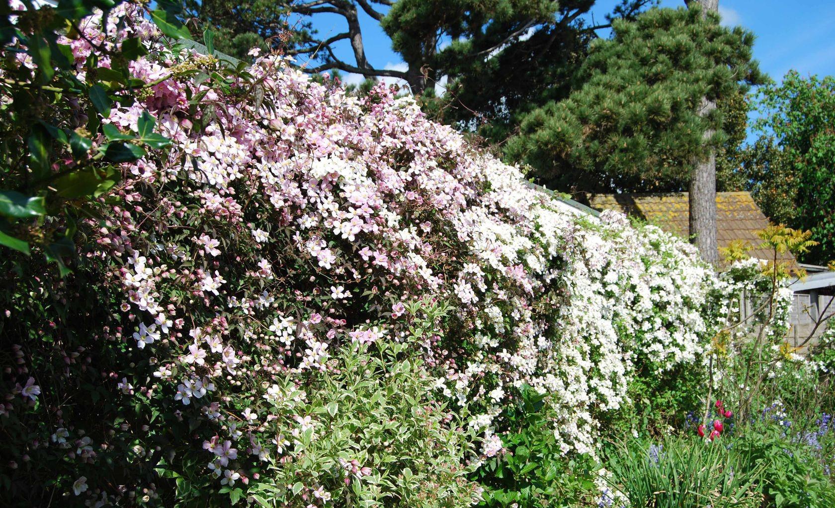 декоративные лианы для сада клематис