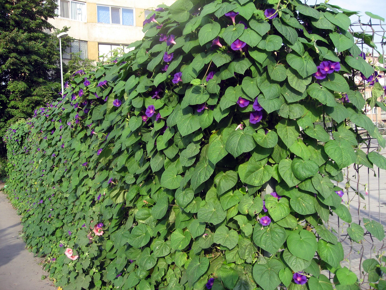 декоративные лианы для сада ипомея