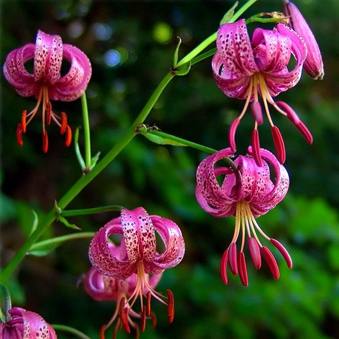 цветы для Сибири и Урала лилия