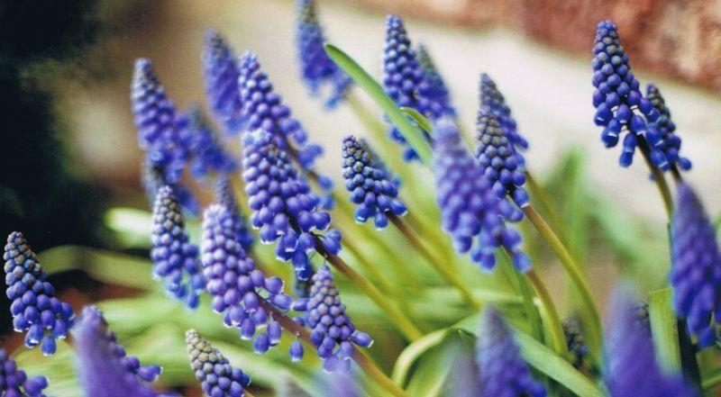 монохромный цветник синий Мускари