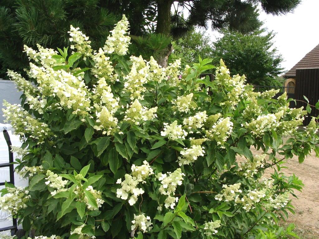 цветы для Сибири и Урала гортензия метельчатая