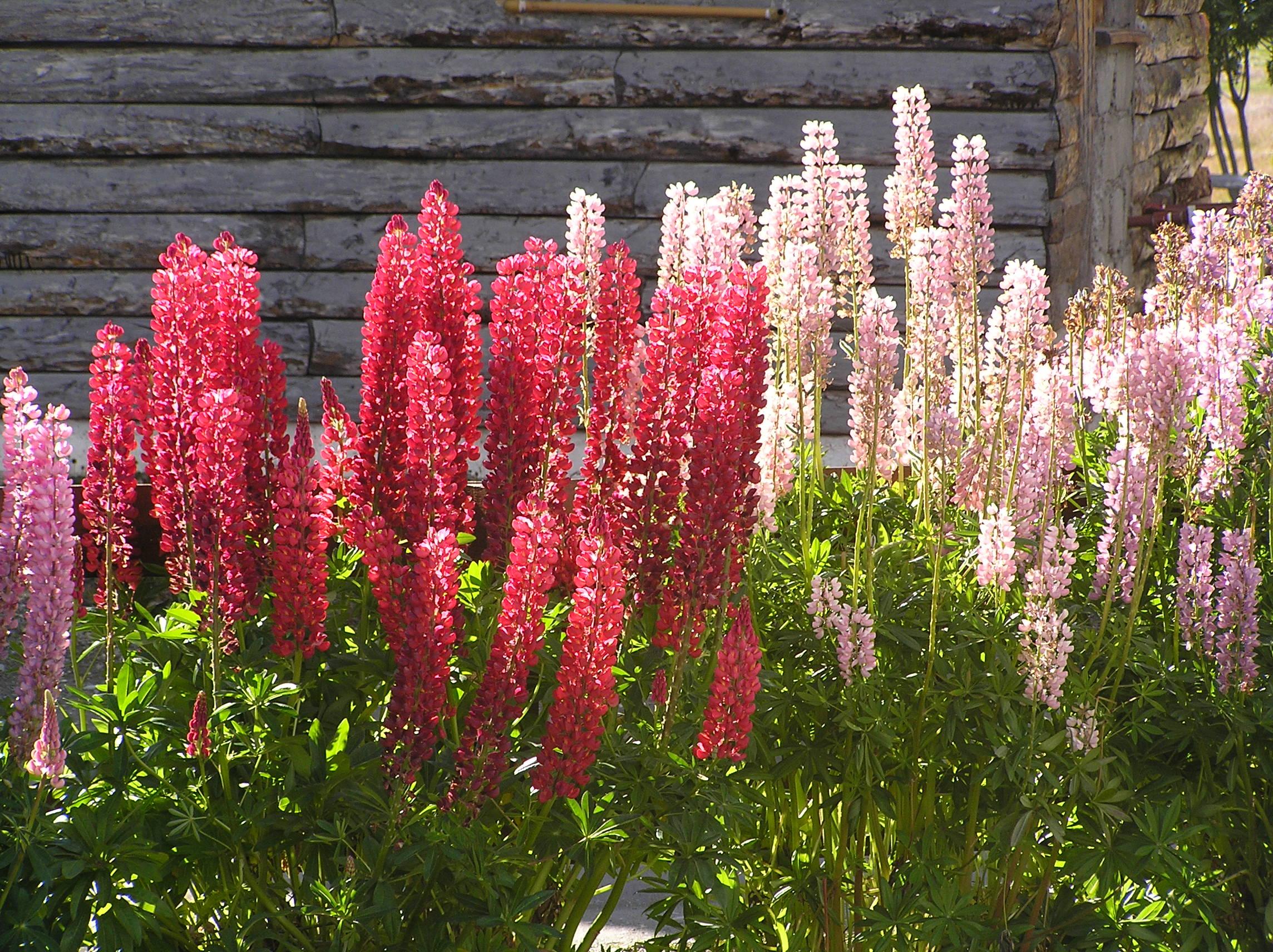 растения для кислых почв люпин многолистный