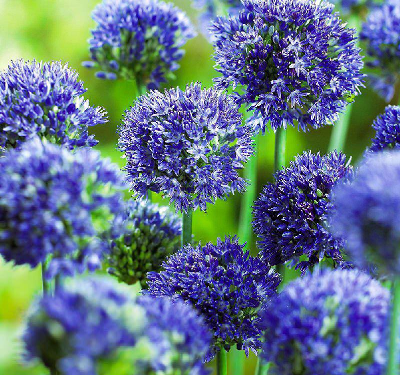цветы для Сибири и Урала декоративные луки