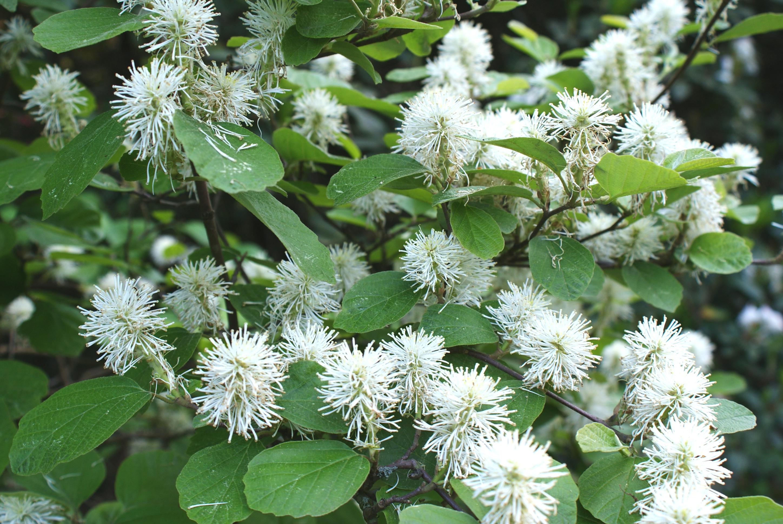 растения для кислых почв фотергилла Гардена