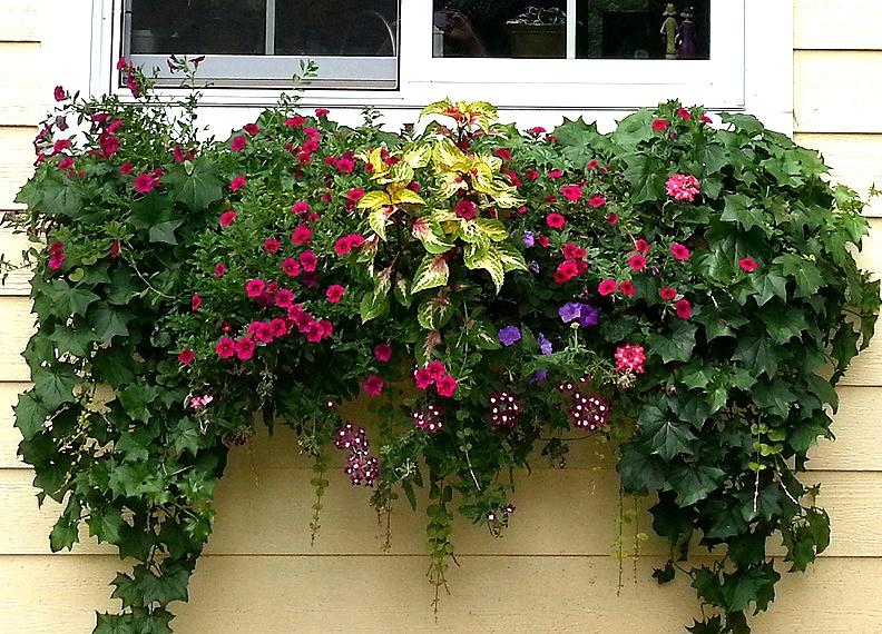 ампельные растения подвес для цветов Памела Кроуфорд