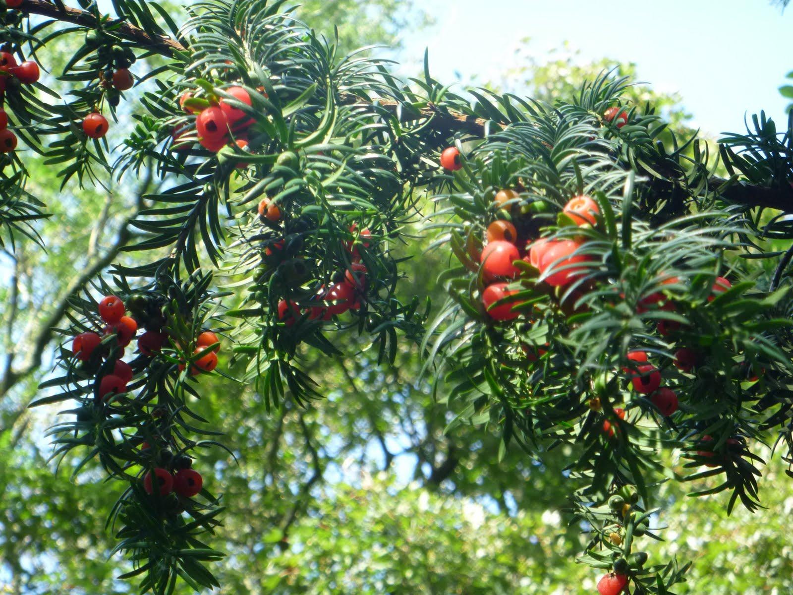 тис ягодный декоративные хвойники для сада