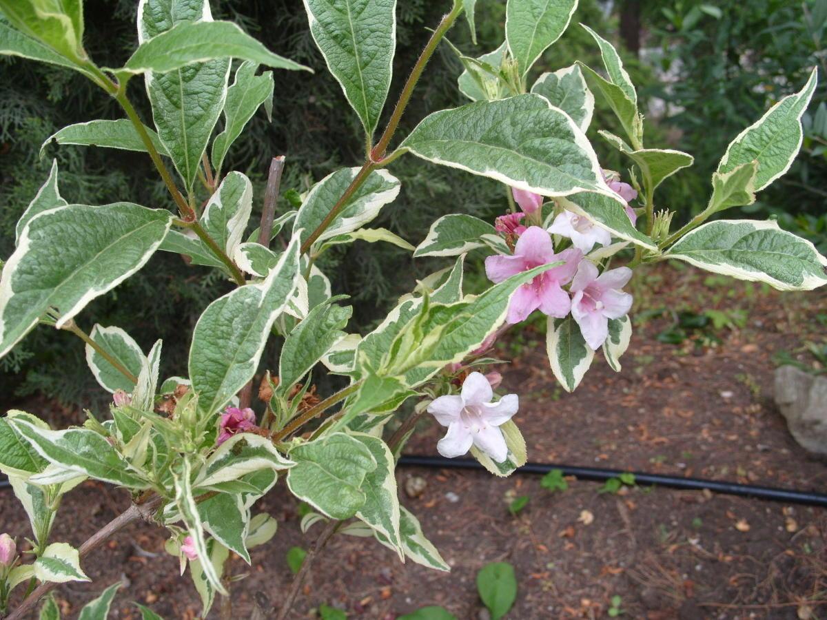 пестролистные декоративные кустарники вейгела цветущая пестрая