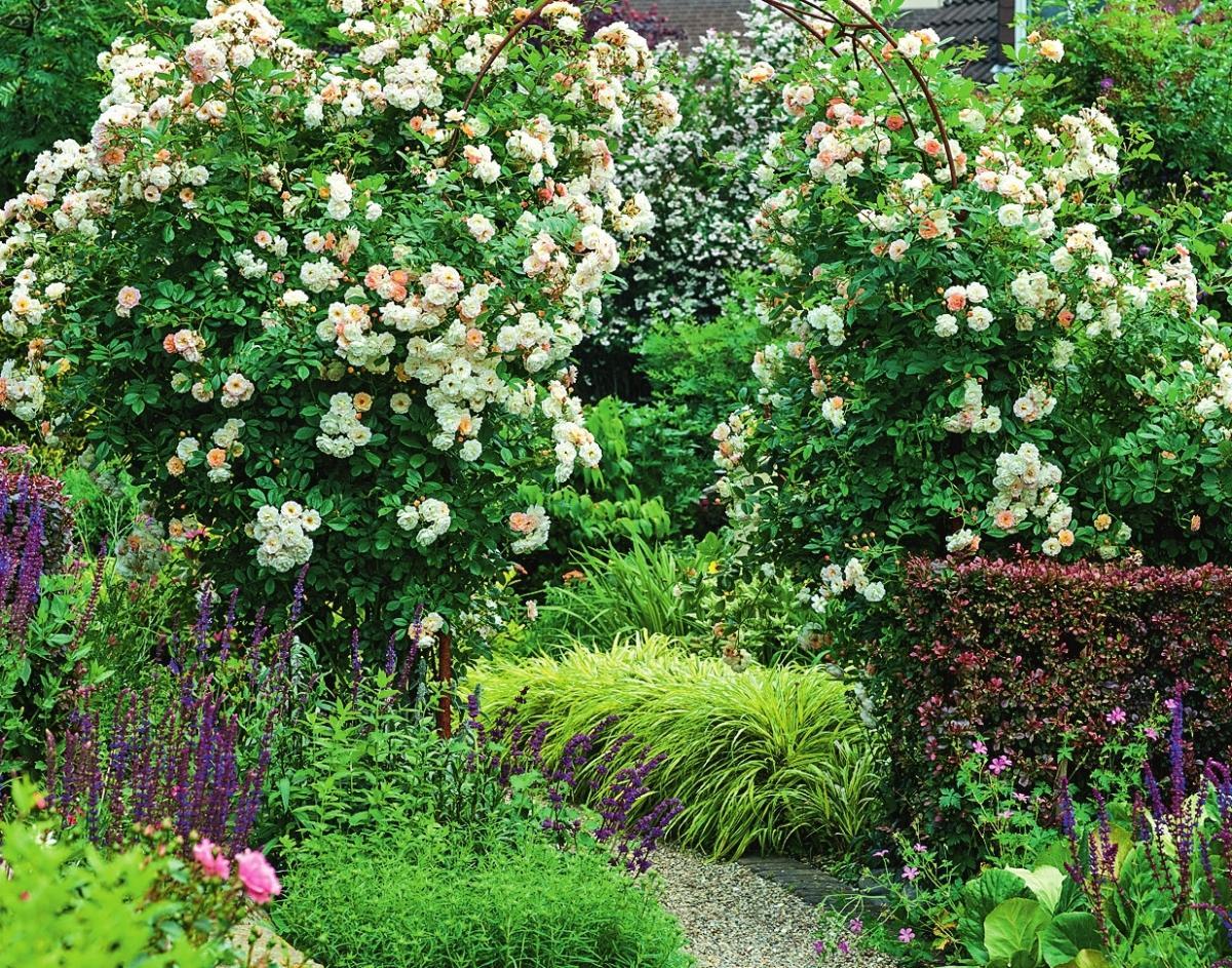 самые ароматные розы Ghislaine de Feligonde