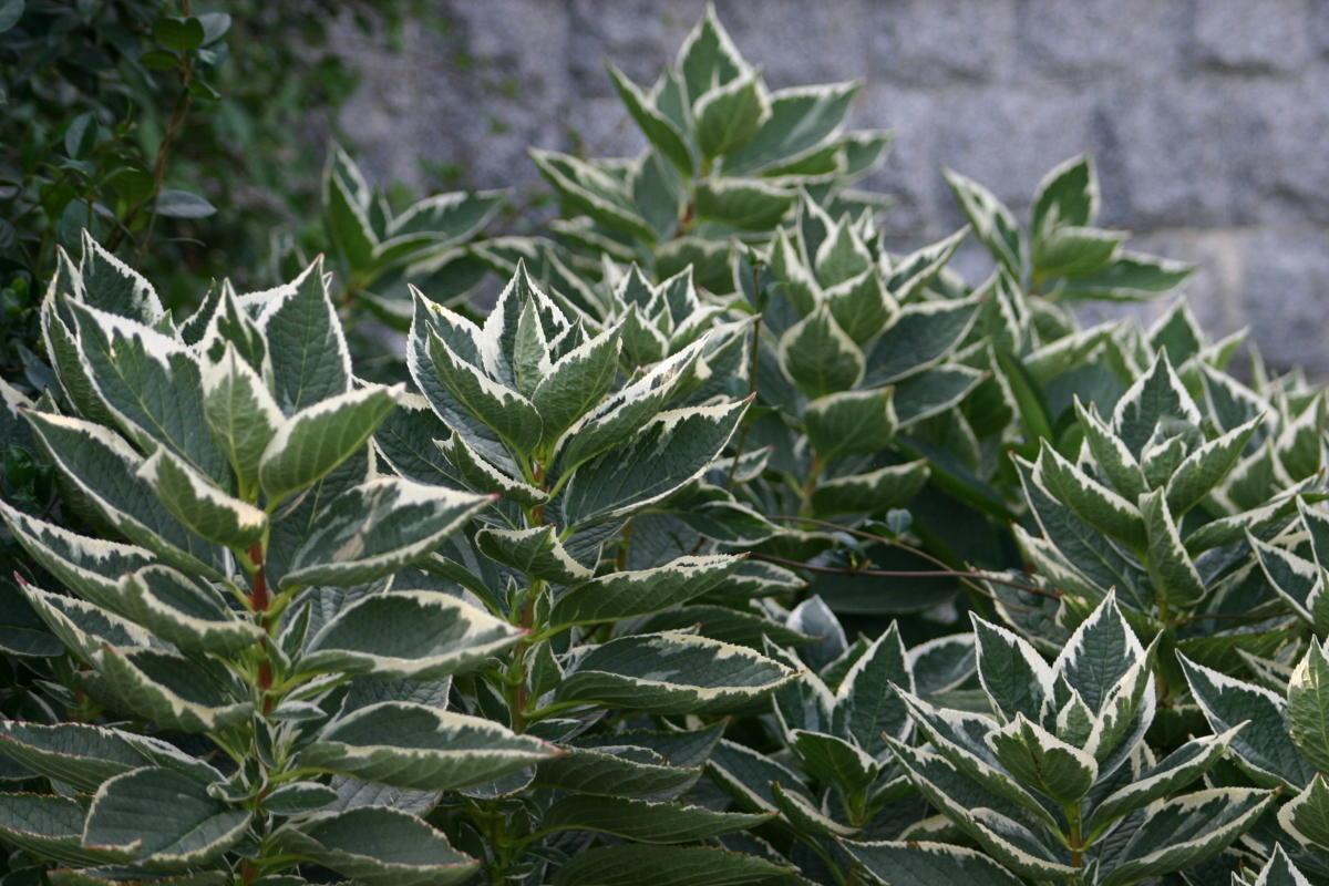 пестролистные декоративные кустарники гортензия крупнолистная пестрая