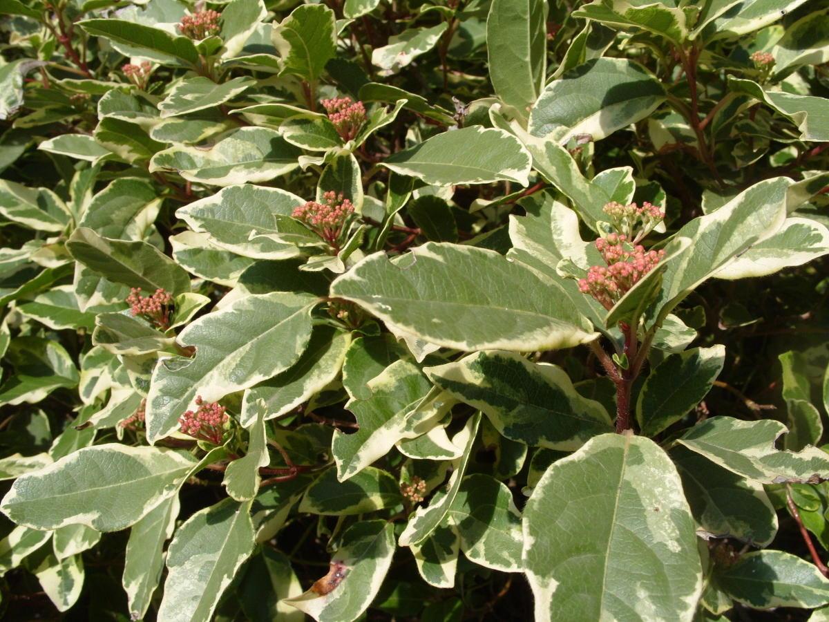 пестролистные декоративные кустарники калина вечнозеленая пестролистная