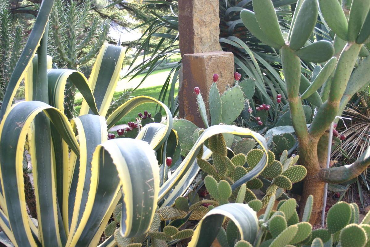пестролистные декоративные кустарники агава американская