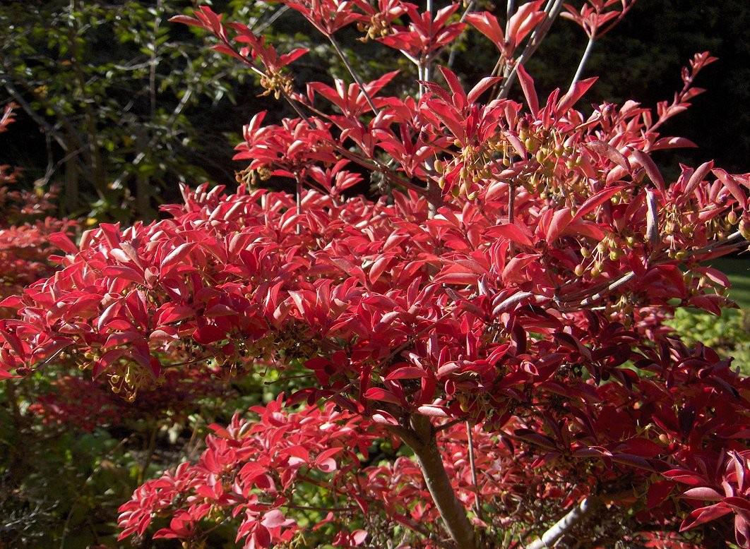 растения с красной листвой в дизайне сада