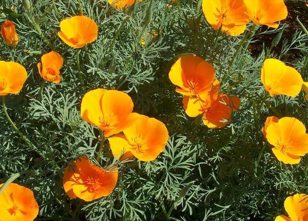 сорта и разновидности эшшольции калифорнийская эшшольция