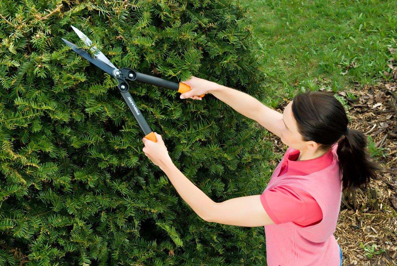 как правильно стричь елку