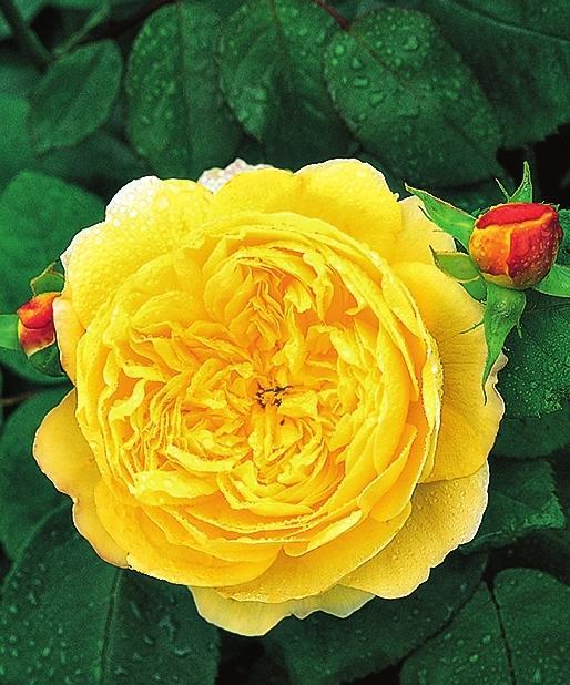 самые ароматные розы Charles Darwin