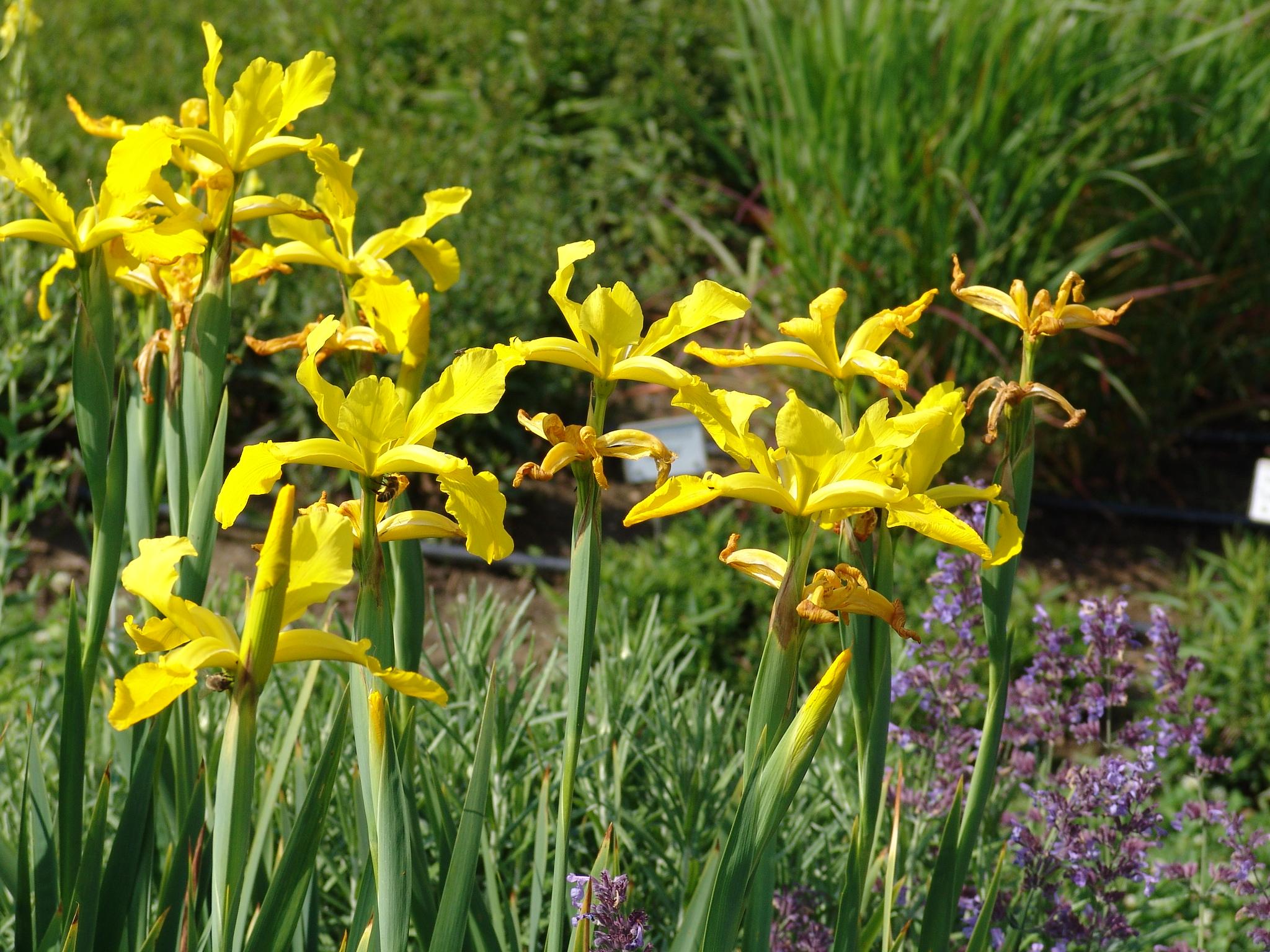 ксифиум многолетний цветок для сада