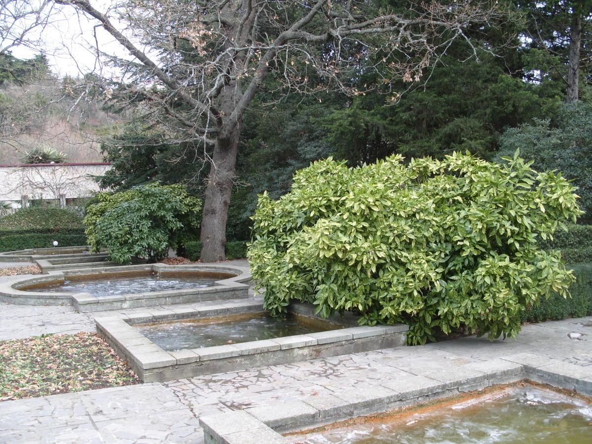 пестролистные декоративные кустарники аукуба японская