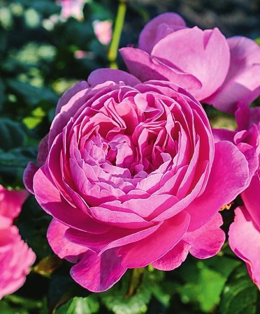 самые ароматные розы Kolner Flora