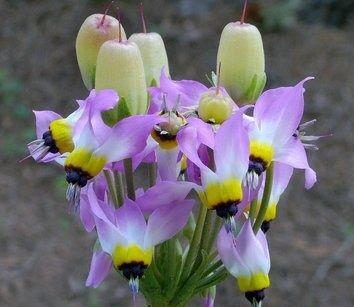 самые популярные и красивые сорта додекатеона Dodecatheon clevelandii insulare