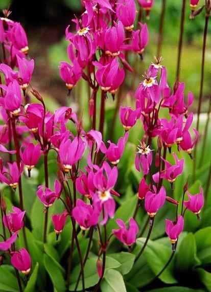 самые красивые и популярные сорта додекатеона Dodecatheon clevelandii patulum