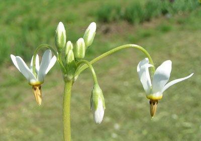 Dodecatheon clevelandii sanctarum