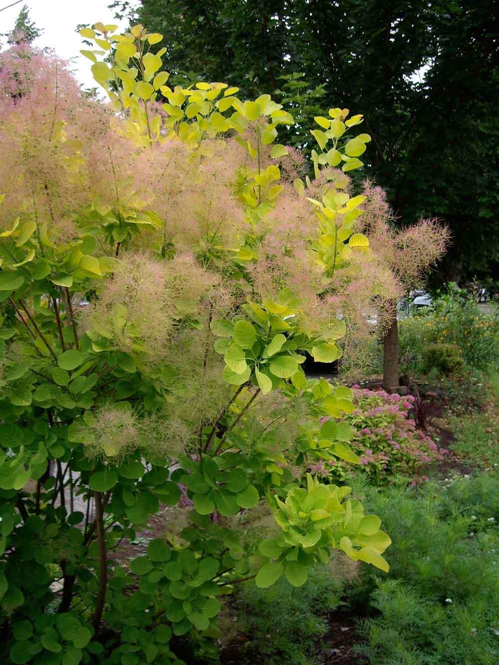 неприхотливая живая изгородь скумпия желтинник париковое дерево