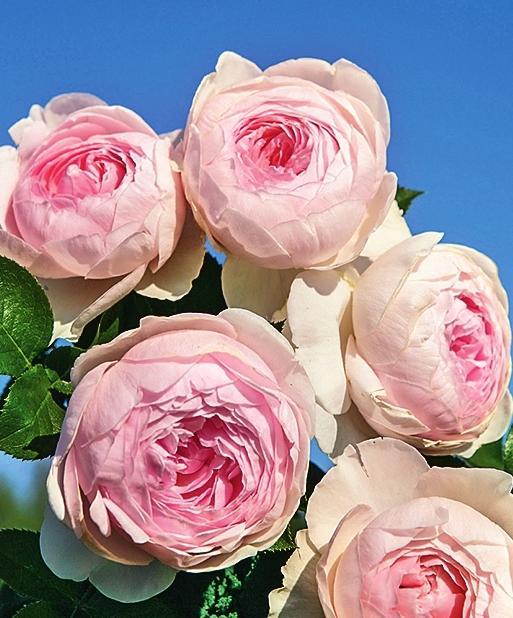 самые ароматные розы Herzogin Christiana