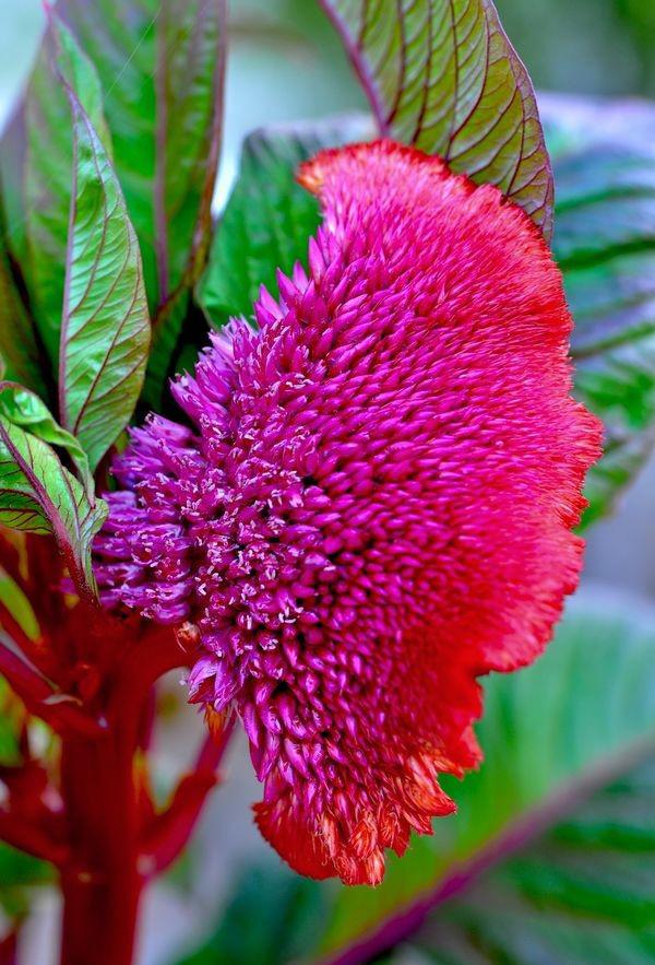 сорта и разновидности целозии сорт антропурпурея