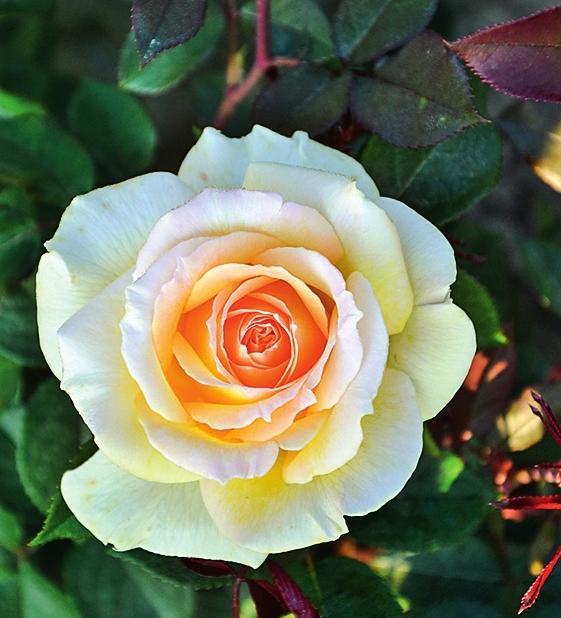 самые ароматные розы Ambassador 2014