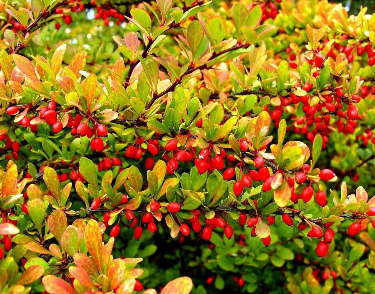 барбарис невысокие кустарники для зеленой изгороди