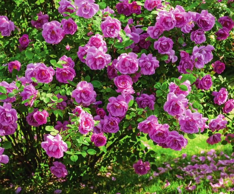 самые ароматные розы Adam Messerich