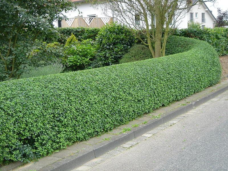 бирючина невысокие кустарники для зеленой изгороди
