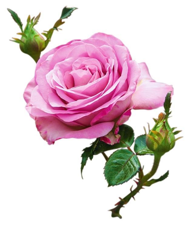 самые ароматные розы Blue Girl