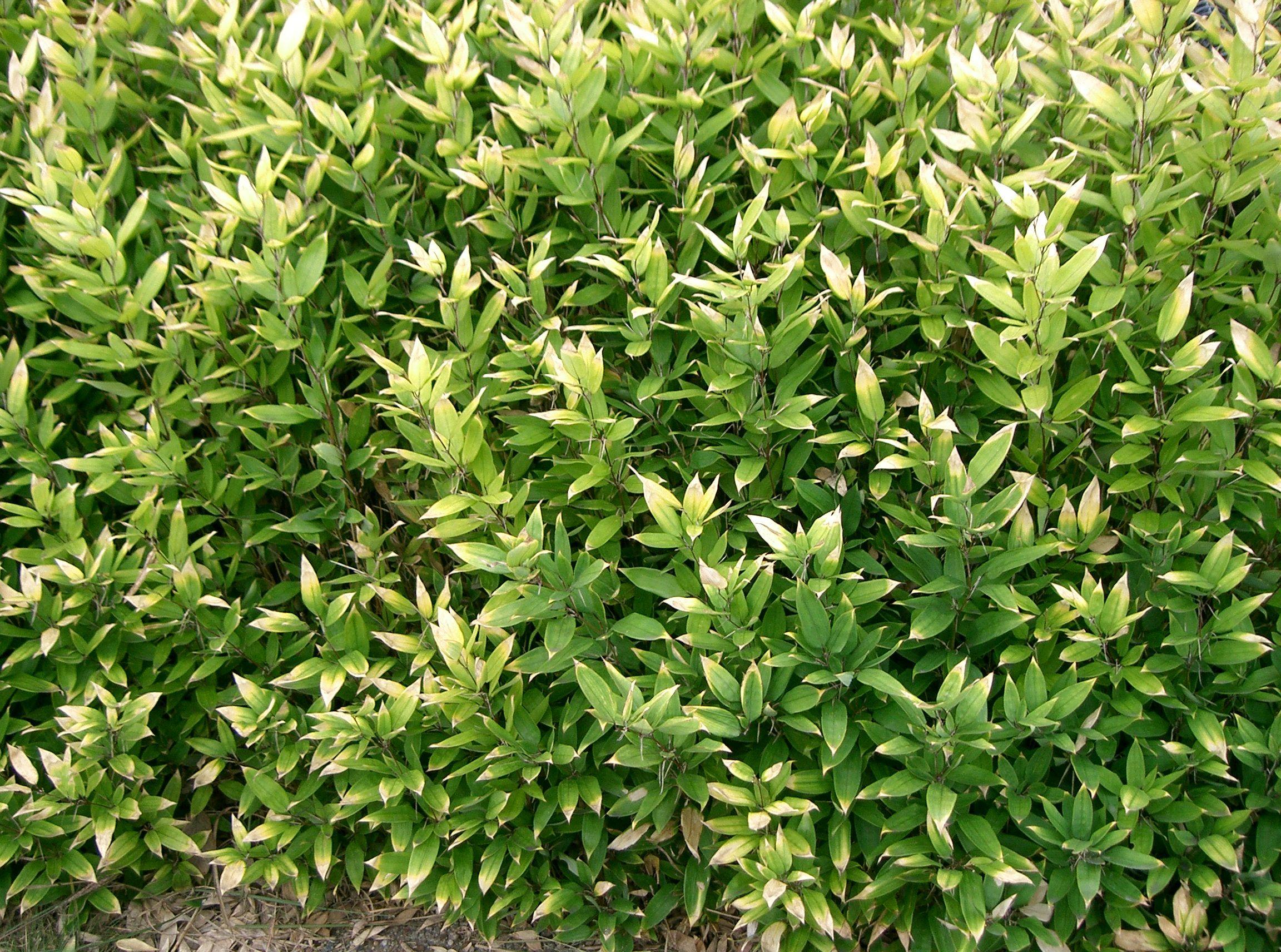 Shibataea kumasaca, бамбук, бамбук купить, кашпо