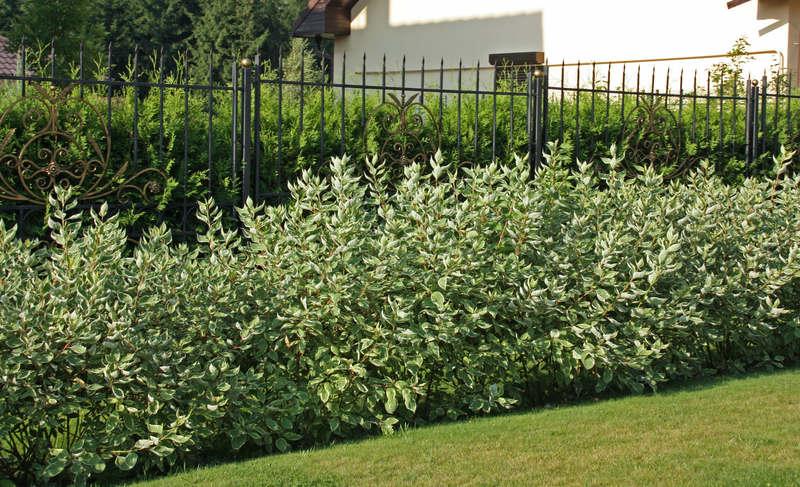растения для зеленых изгородей