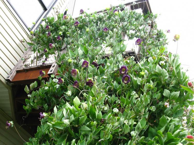 вертикальное озеленение кобея