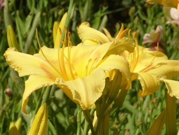 сорта лилейников желтые цветки сорт Late Summer Позднее лето
