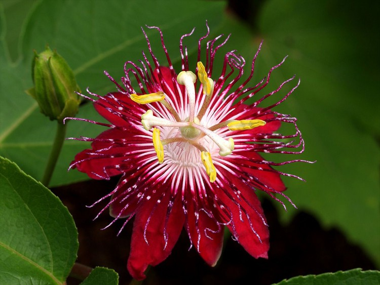 пассифлора уход и размножение