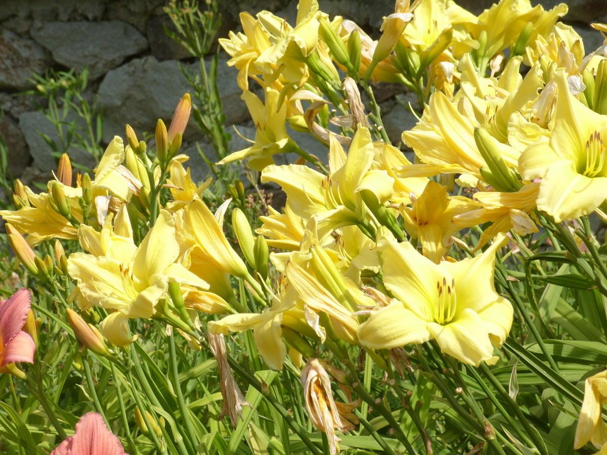 сорта лилейников желтые цветки сорт Winning Ways  пути к победе