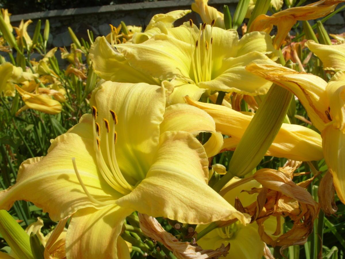 сорта лилейников желтые цветки сорт Melody Lane