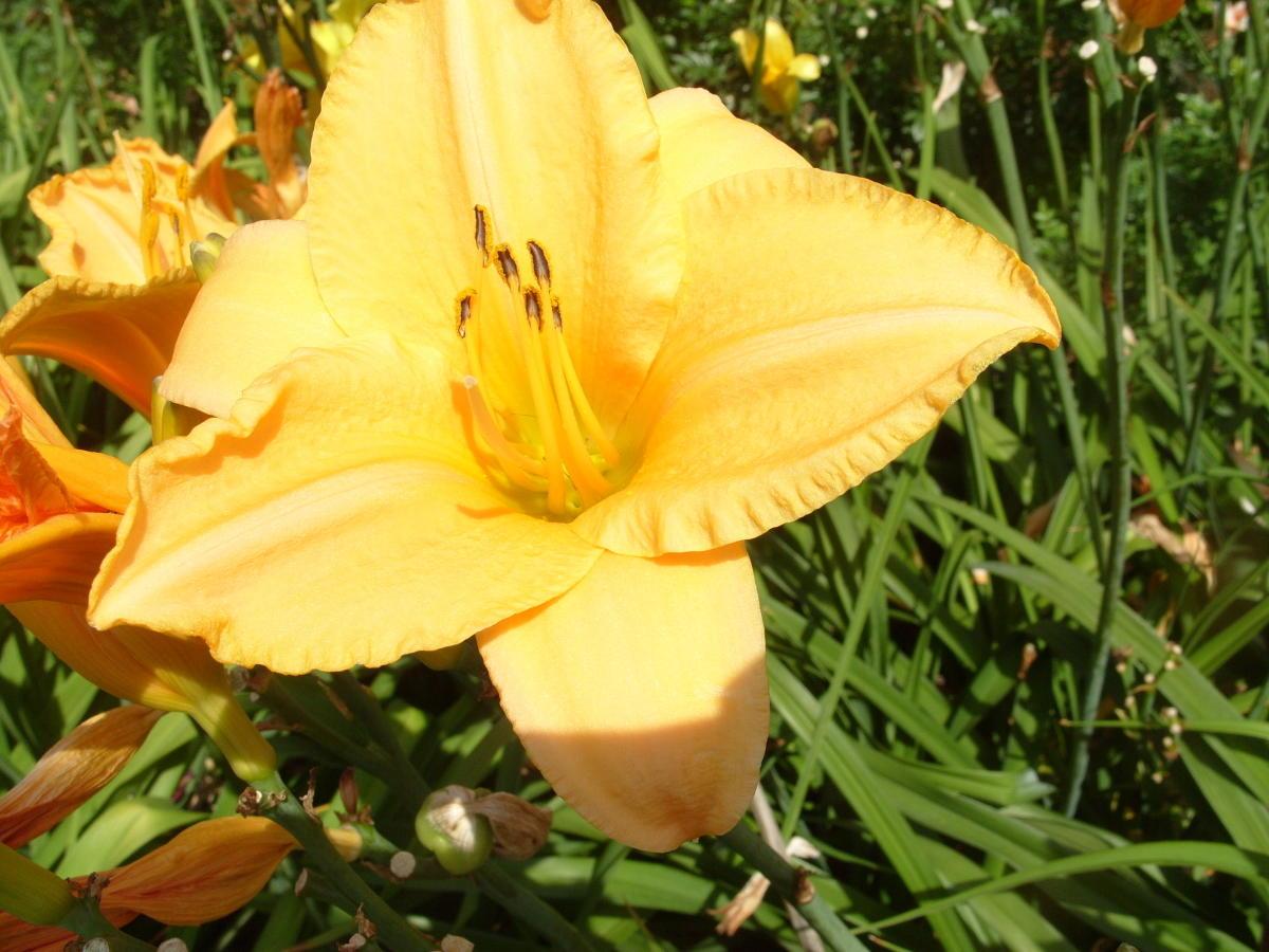 сорта лилейников желтые цветки сорт Command-Ment