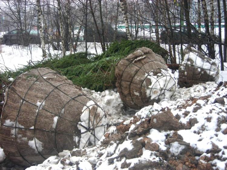 пересадка крупномеров деревьев